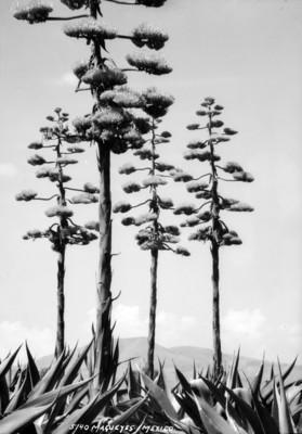 Magueyes en flor, vista parcial