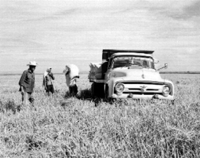 Agricultores cargando costales de arroz a un camión