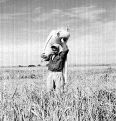 Agricultor cargando un costal de arroz en un campo de cultivo de este