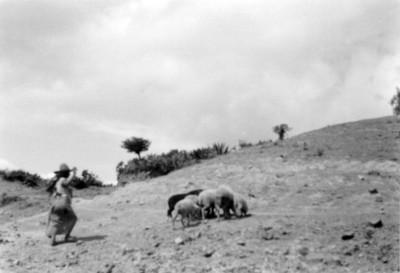 Toro y NBarbol de nopal en el Valle del Mezquital