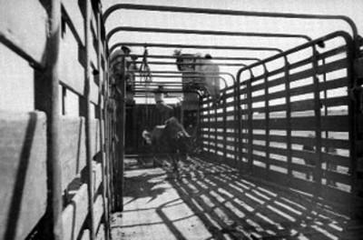 Hombres liberan a rumiante de una jaula en un camión