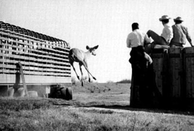 Hombres observan a gacela que salta después de ser liberada en el Africam Safari