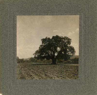 Arbol de la Hacienda de Burras