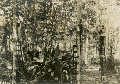 Caucheros recolectando de los árboles la materia prima
