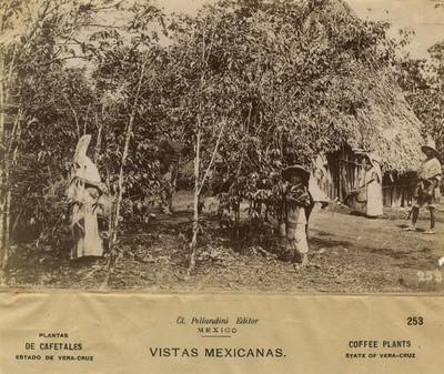 """253"""". Indígenas junto a """"plantas de cafetales"""
