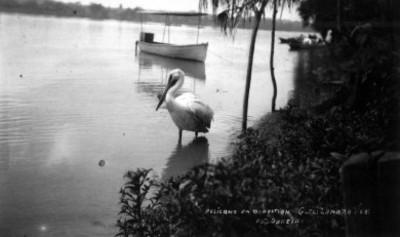 Vista de un pelicano en la orilla de un río