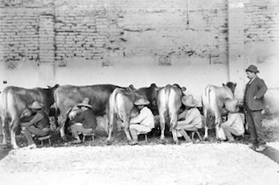 Campesinos ordenan vacas en un establo