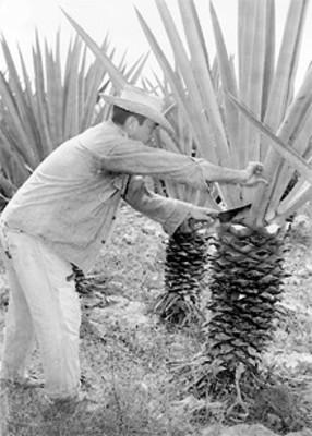 Campesino realiza el corte en un maguey de agave
