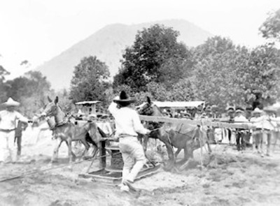 Hombre arrea mulas para enrollar un cable de acero