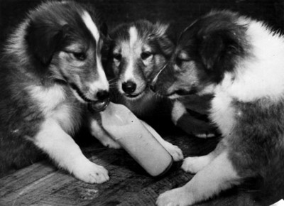 """Perros"" toman leche en un biberón"