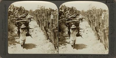Tlachiquero y vendedor de leña en un camino de Cactus