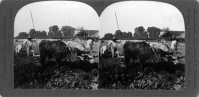 Campesinos realizan arado con yunta