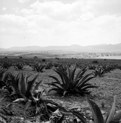 Magueyes, paisaje