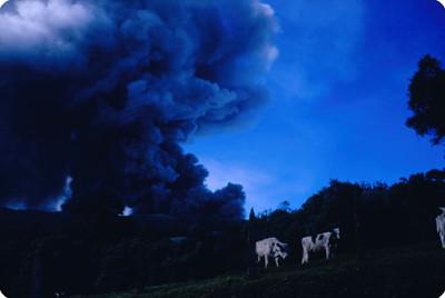 Vacas en ladera del volcan Poas, al fondo fumarola