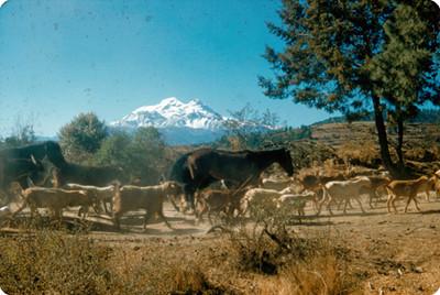 Ganado pasta en las cercanias del volcan Iztaccihuatl