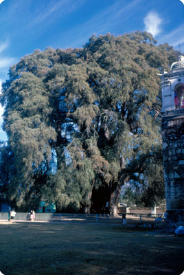 Arbol del Tule, junto a la iglesia de la Asuncion
