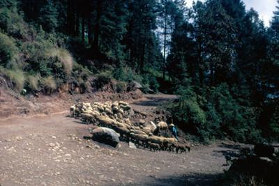 Pastor arrea su ganado por un camino en el bosque