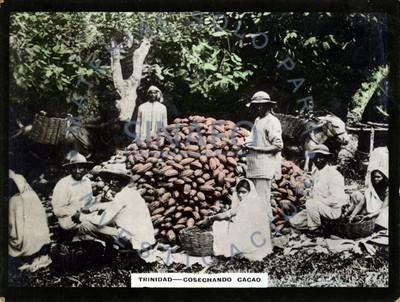 Grupo de campesinos cosechan cacao
