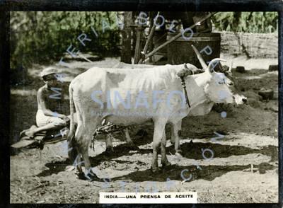 """Hombre sentado junto a vacas y """"una prensa de aceite"""""""