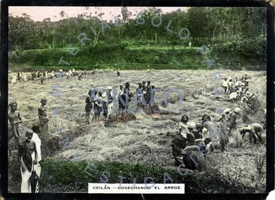 Hombres cosechan arroz en Sri Lanka