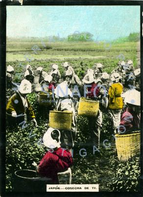 """Mujeres y niñas en plantación recogen la """"cosecha de te"""""""