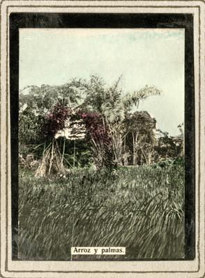 """""""Arroz y palma"""" en un campo de cultivo de Liberia"""