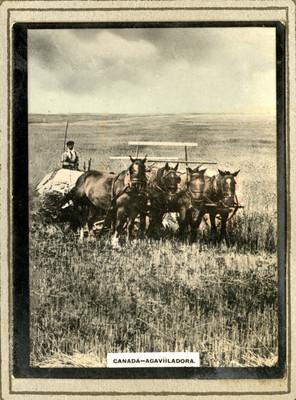 """Campesino con un cuarteto de asemilas conduciendo una """"Agavilladora"""""""