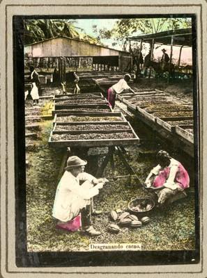 """Campesinos """"Desgranando cacao"""" en los asoleaderos"""