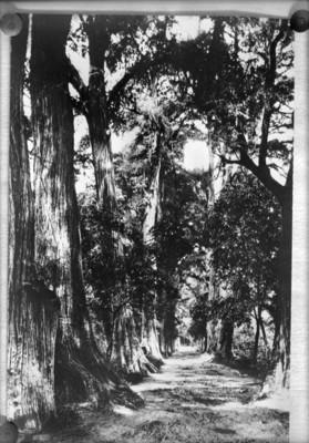 Calle con ahuehuetes en el bosque de Chapultepec, reprografía
