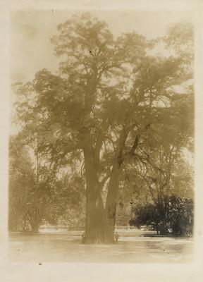Ahuehuete más antiguo del Bosque de Chapultepec