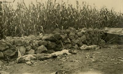 Cadáveres de revolucionarios junto a cultivo de maíz, tarjeta postal