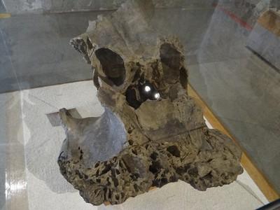 Fragmento de cráneo de mamut