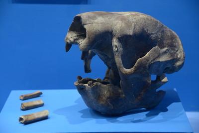Cráneo de perezoso gigante