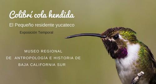 Colibrí de cola hendida. El pequeño residente yucateco