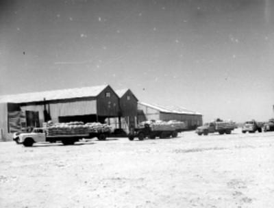 Camines de carga fuera de unos almacenes, durante un acarreo de trigo